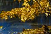 Branch of yellow maple leaves — Стоковое фото