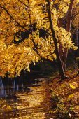 Maple with yellow leaves — Стоковое фото