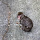 Dozing Japanese macaque — Stock Photo