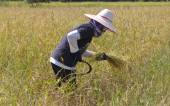 Farmer reaping the rice together by sickle in Thailand. — Stock Photo