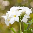 White flower and bokeh bouquet sun shines brightly — Foto de Stock   #60252873