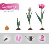 Growing tulip — Stock Vector