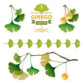 Ginkgo biloba — Stock Vector