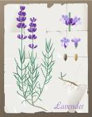 Lavender — Stock Vector