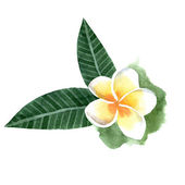 Watercolor frangipani flower — Vettoriale Stock