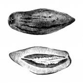 Hand drawn pepino melon  — Stockvector
