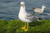 Yellow-legged Gull (Larus cachinnans) — Stock Photo