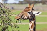 Giraffe reaching high to eat leaves — Stock Photo