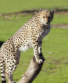 Cheetah searching for prey — Stock Photo