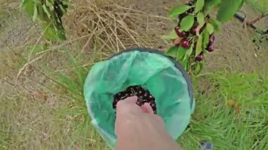 4k video of cherry picking, wrist view — Stockvideo