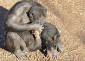 Chimpazee mother and baby — Stock Photo
