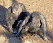 Chimpazee family — Stock Photo