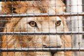 Lion in a cage — Stock Photo