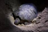 Green turtle laying eggs on beach at night — Stock Photo
