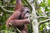 Orangutan thinking on a tree — Stock Photo