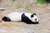Panda taking a nap — Stock Photo