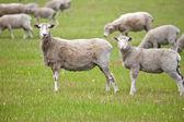 Curious sheeps — Stock Photo