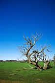 Grass field with bizarre dead tree — Stock Photo
