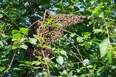 小蜜蜂抱住一棵樱桃树 — 图库照片