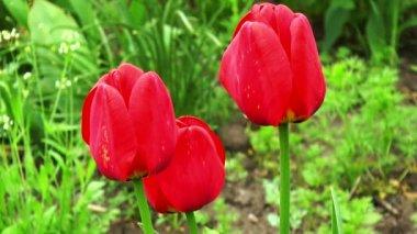 Three tulip in the garden — Stock Video