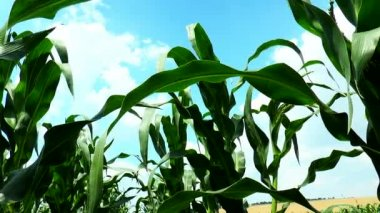 Corn leaves against the sky with clouds — Stock Video