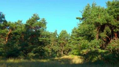 Clairière dans une forêt de pins — Vidéo