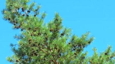 Un grand nombre de cônes de pin brun sur une branche — Vidéo