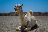 Camel sitting in Sahara desert — Stock Photo