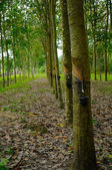 Rubber Tree (Hevea brasiliensis) in Malaysia — Foto de Stock