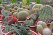 Cactus in the pot in Cameron Highland Malaysia — Stock Photo