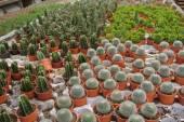 Kaktus w doniczce w Malezji Cameron Highland — Zdjęcie stockowe