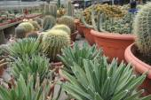 Cactus in the pot in Cameron Highland Malaysia — Stockfoto
