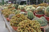 Cactus plant nurseries in Cameron Highland Malaysia — Stock Photo
