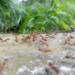 Red ants colony — Stock Photo #64285829