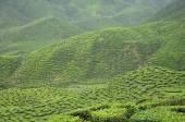 Green Tea plantation in Cameron Highland Valley — Foto de Stock