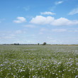 Blooming blue flax in a farm field — Stock Photo #75489281