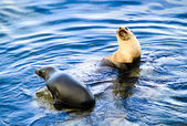 Two wild seals interacting in blue sea water — Stock Photo