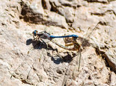 Two mating dragonflies on a rock — Stock Photo