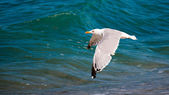 Seagull in flight — Stock Photo