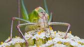 Grasshopper on a flower — Stock Photo