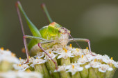 Grasshopper on a flower — Stock Photo