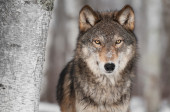 Intense timber wolf - stock images — Stock Photo