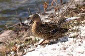 Duck — Foto de Stock