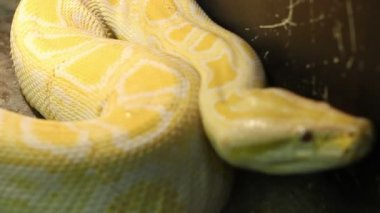 Big Burmese Python — Stock Video