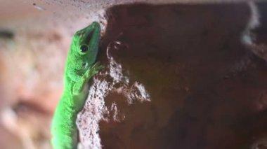 Gecko Lizard — Stock Video