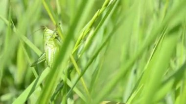 Green Grasshopper on Blade of Grass — Stockvideo