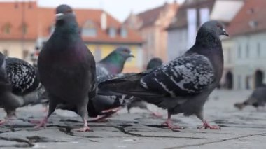 Ground View of Pigeons — Stock Video