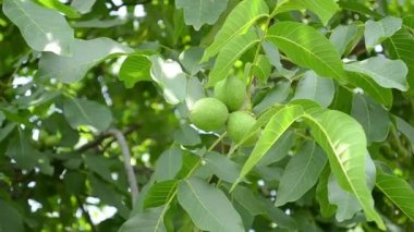 Green Walnuts in Tree — Stock Video