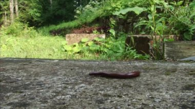 Millipede Bug Going on Rock — Stock Video