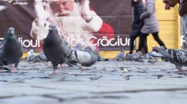 Pigeons Feeding Bustle — Stock Video